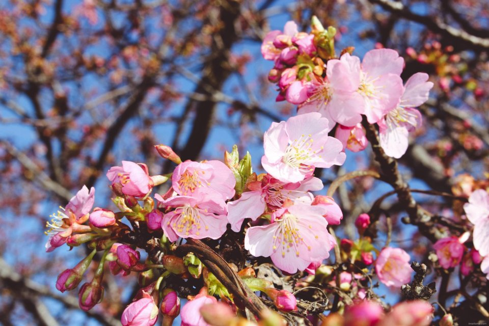 Kawazu Sakura Cherry blossoms in Saitama