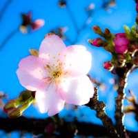 Sumiyoshi Sakura Kawazu Cherry Blossoms in Saitama