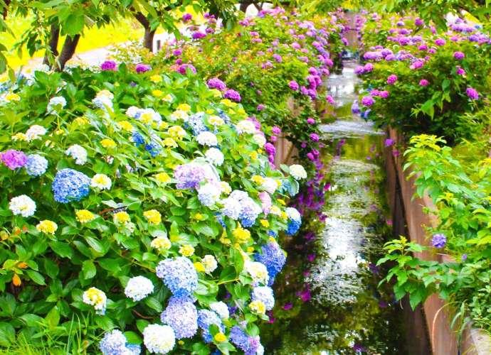 Hydrangea Okegawa