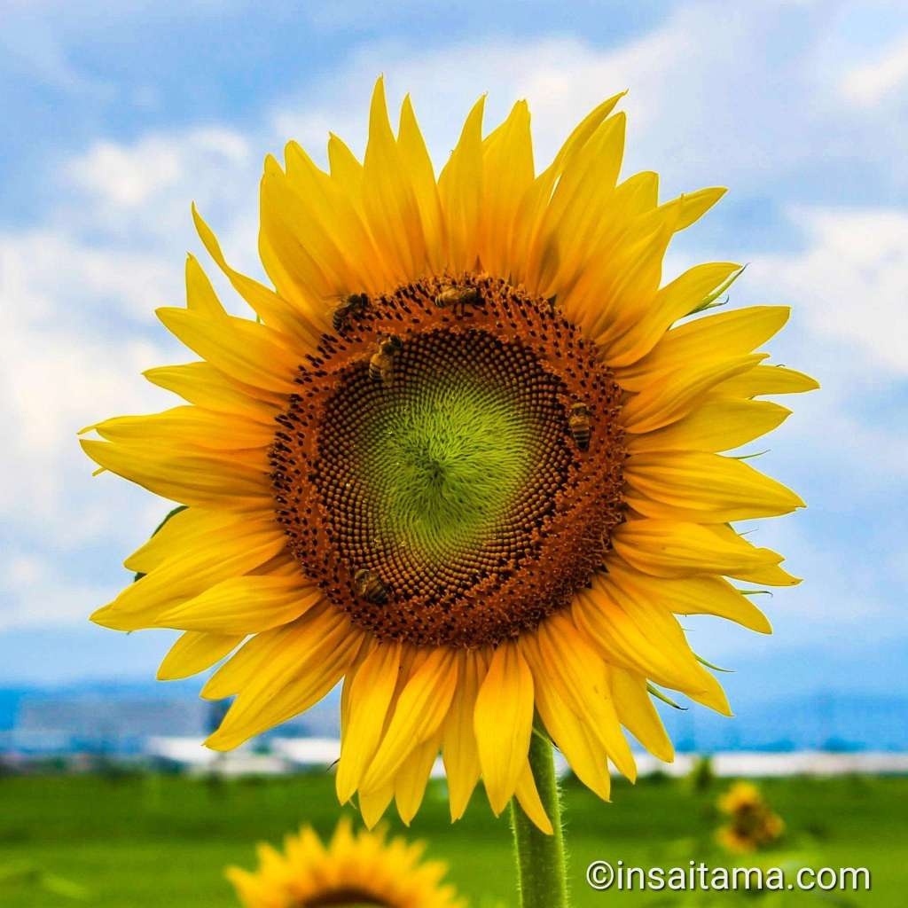 Sunflower Kawajima