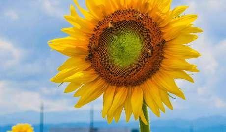 Sunflowers kawajima