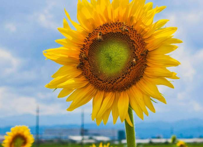 Sunflowers kawajima