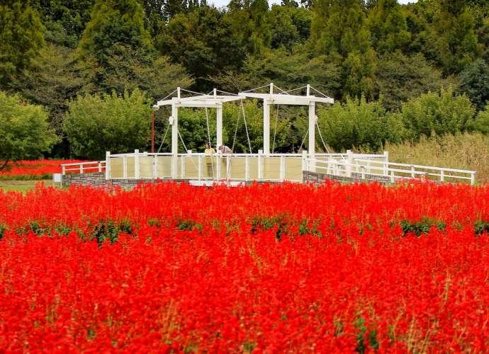 Salvia in Saitama city 2020