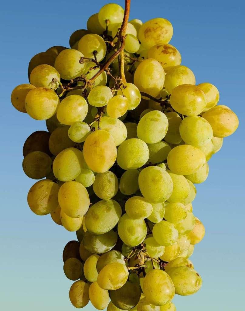 Grape picking Sayama