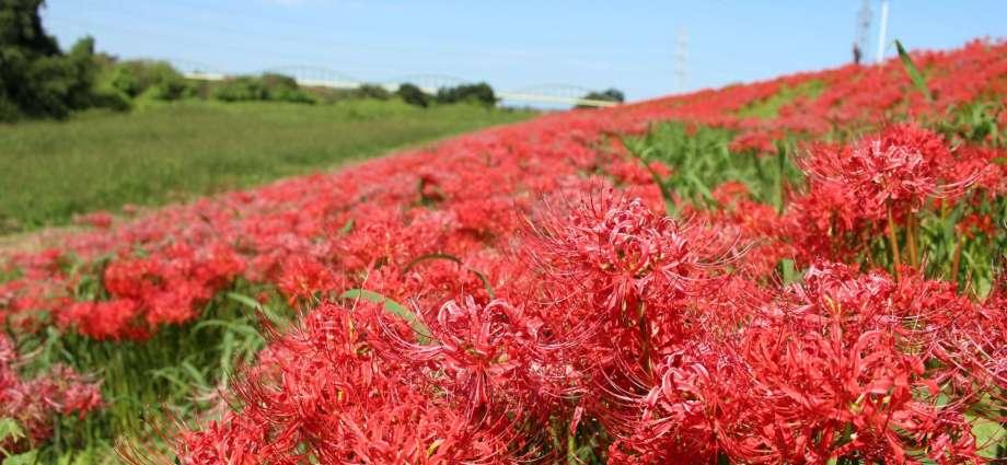 red spider lilies Kawajima Saitama Japan