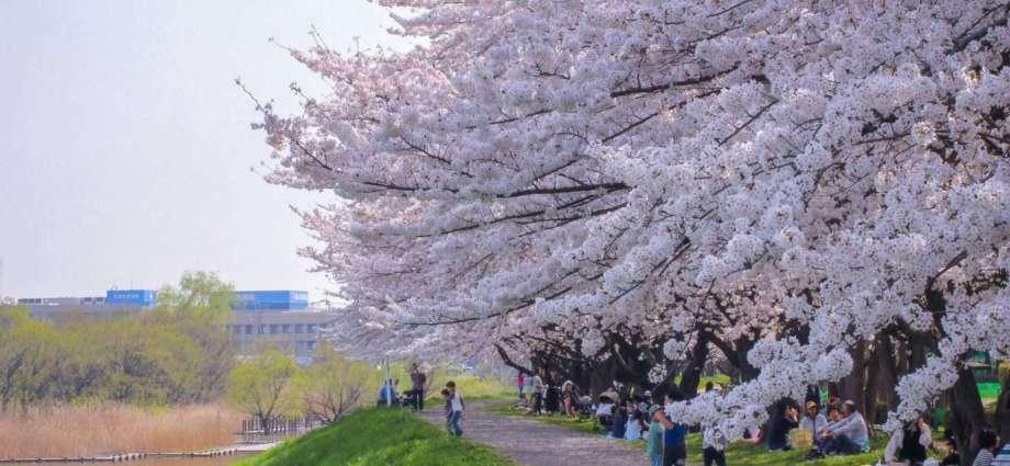 CHerry blossoms Mihashi park