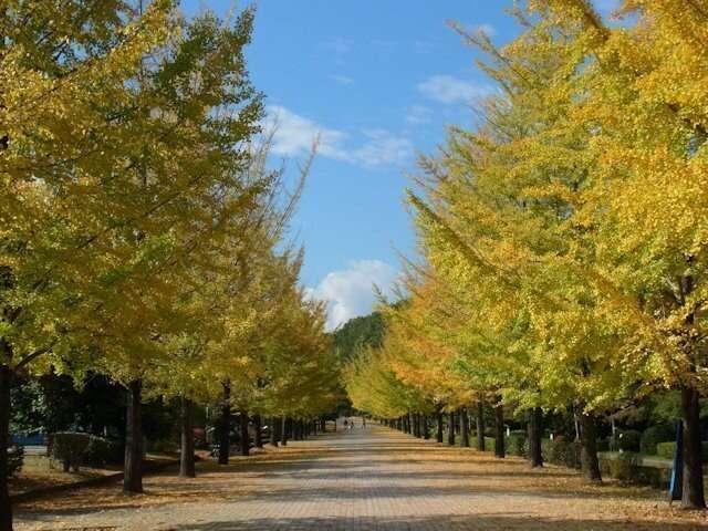 Gingko Trees at Chichibu Muse Park from tenki.jp