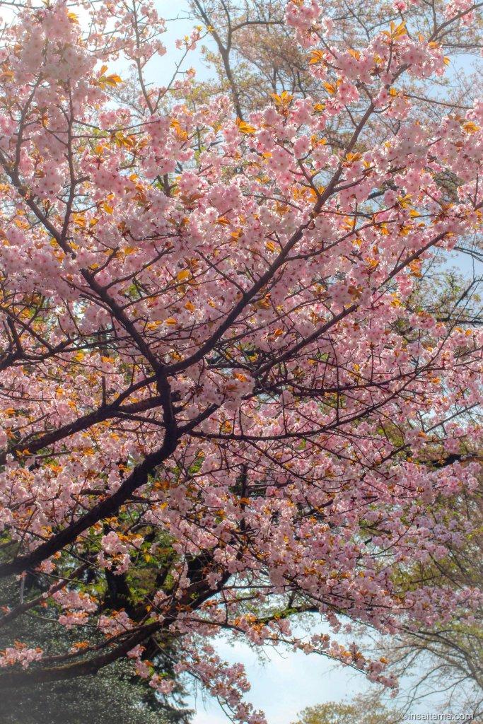 Cherry Blossoms Inariyama Park