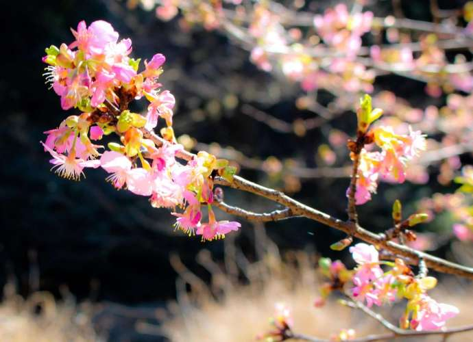 early blooming cherry blossom yatsu no sato namegawa