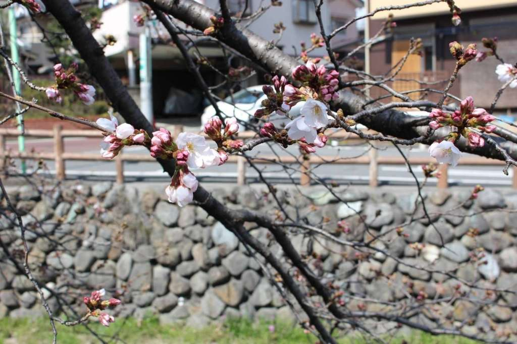 cherry blossoms shingashi river 2021