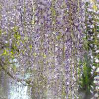 Off the beaten path wisteria spot in Saitama