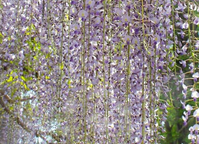 wisteria hanyu saitama