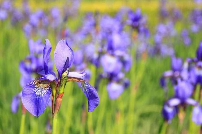 iris flowers in japan