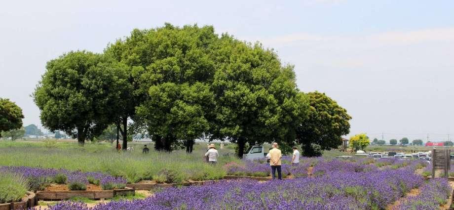 Lavender field in Kuki City