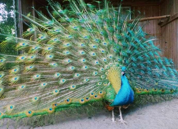 the peacock shrine