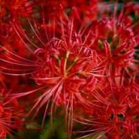 No spider lilies in Kinchakuda in 2021