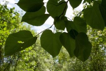 Through leaves