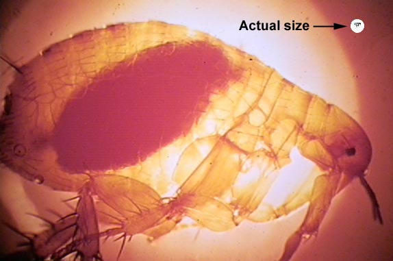 Xenopsylla chepsis (oriental rat flea) vector