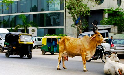 Cows on Indian Street