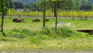 bison moving