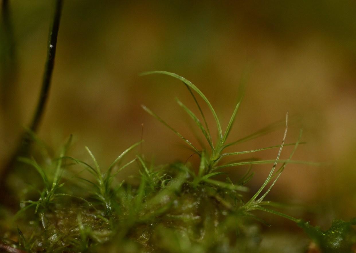 Octoblepharon sp. Panama