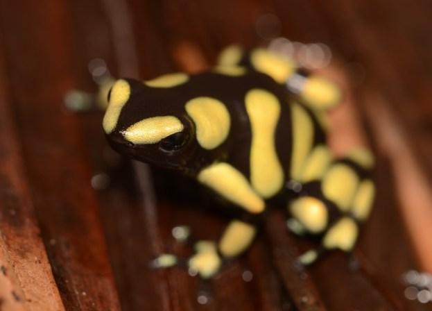 Colombian auratus