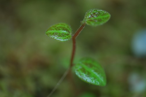 Peperomia villicaulis