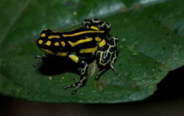 Ranitomeya flavovittatus