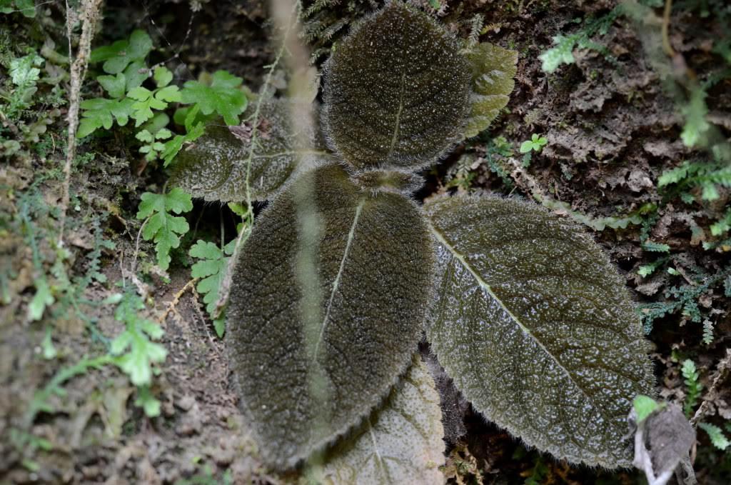 Unknown gesneriad Peru