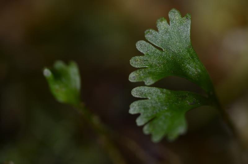 Elaphoglossum peltatum 'narino'