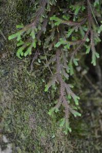 Selaginella sp. Peru