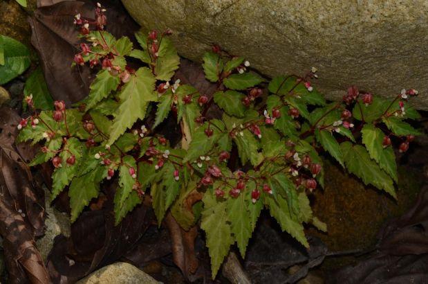 Begonia sp. Sira Mountains, Peru