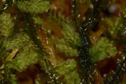 Plagiochila with new growth