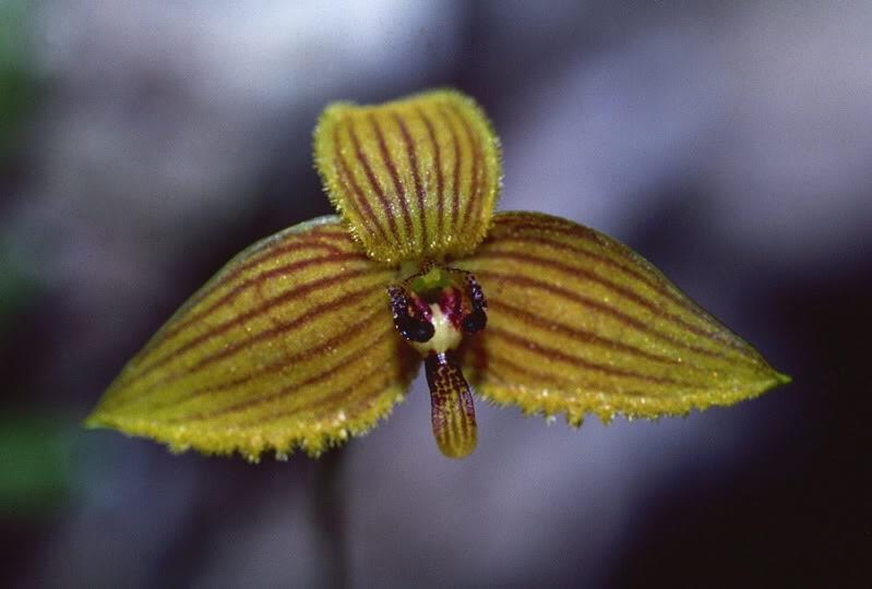 Bulbophyllum species (section Polymeres) Tabubil, PNG