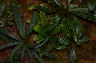 Bucephalandra species growing in a terrarium