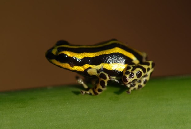 Ranitomeya sirensis from near Puerto Inca