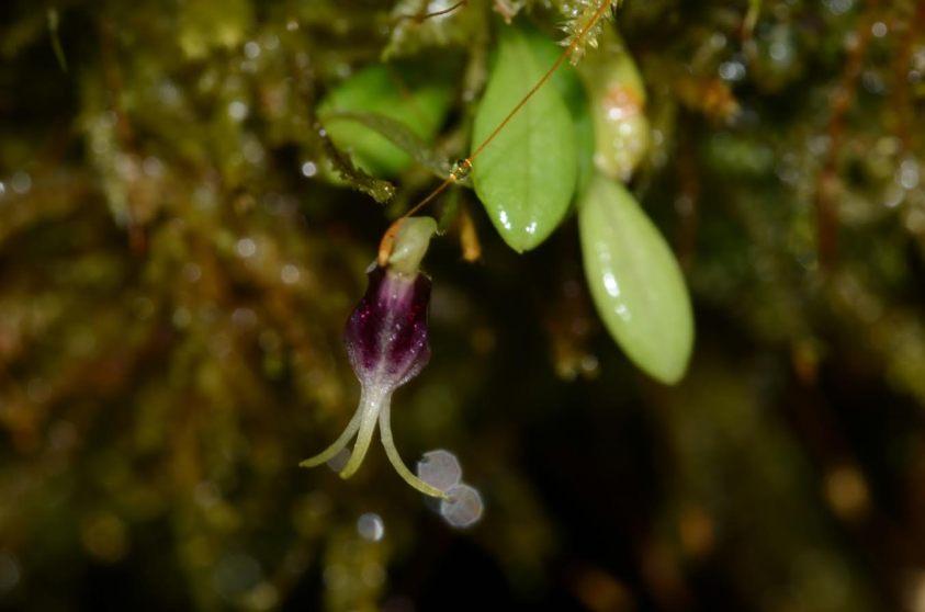 Diodonopsis anachaeta