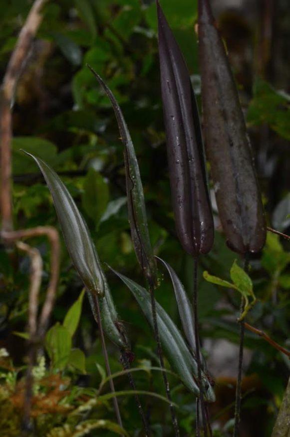 Pleurothallis species