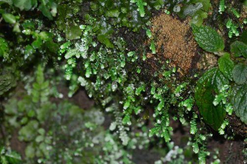Selaginella species Mindo