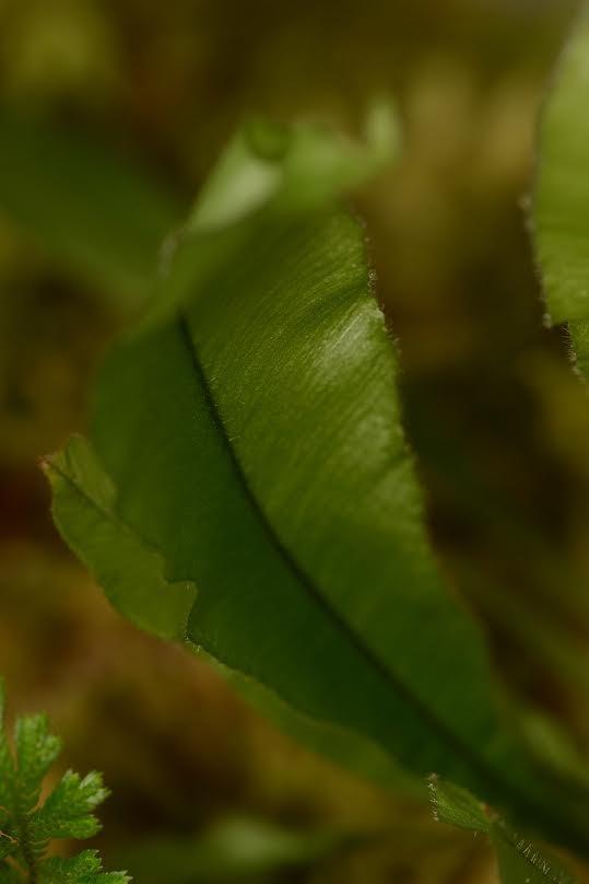 Oleandra species