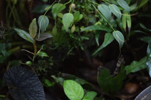 Rhodospatha 'silver', Begonia lugonis, Fittonia 'Sauce'