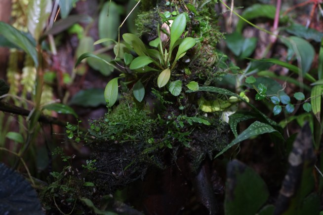 aspleniums, tiny Elaphoglossum, and orchids