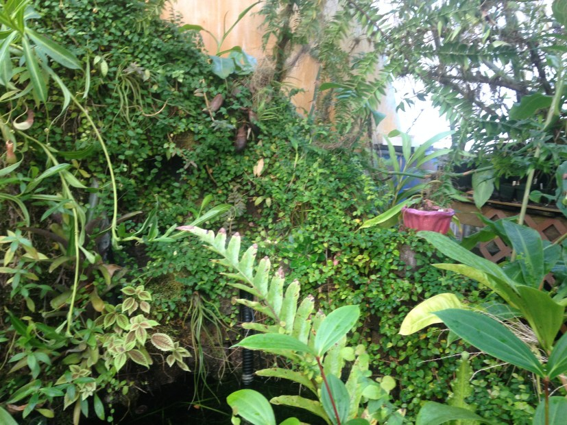 right side of the pond, with lots of Ficus!
