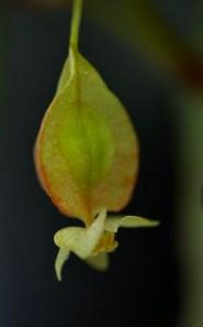 B. amphioxus
