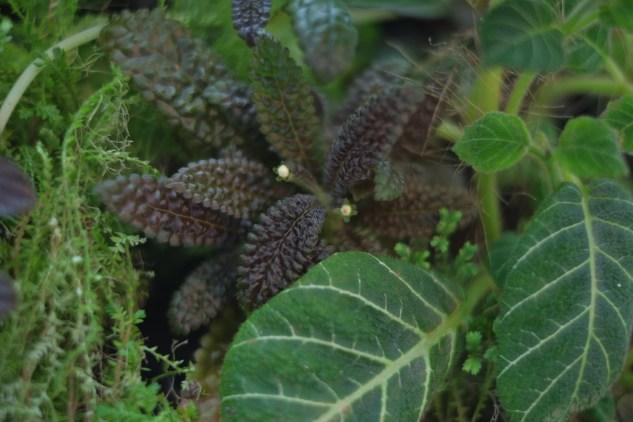 Nautilocalyx pemphidius and Pearcea sp.