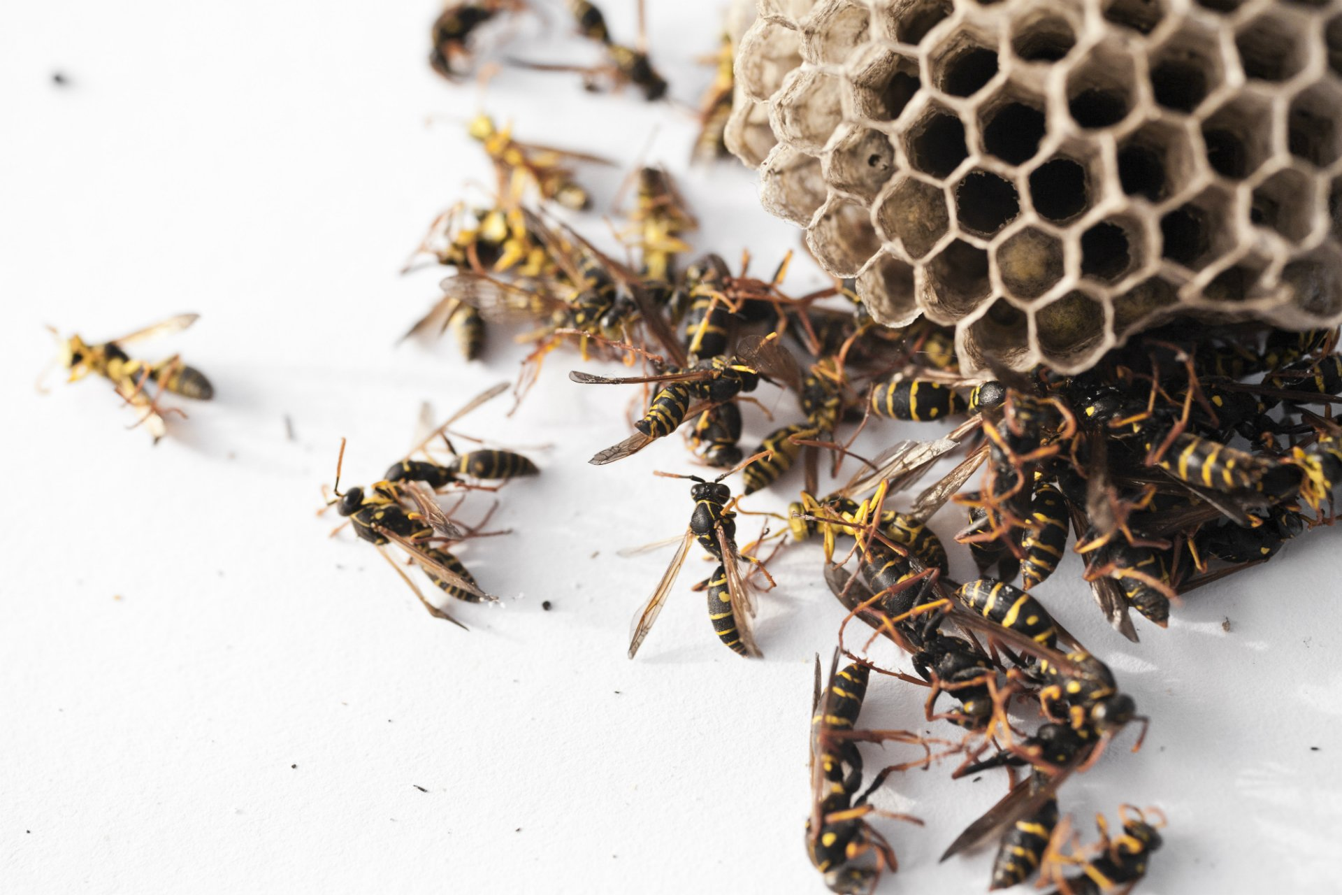 Bug Bomb For Wasps In Attic