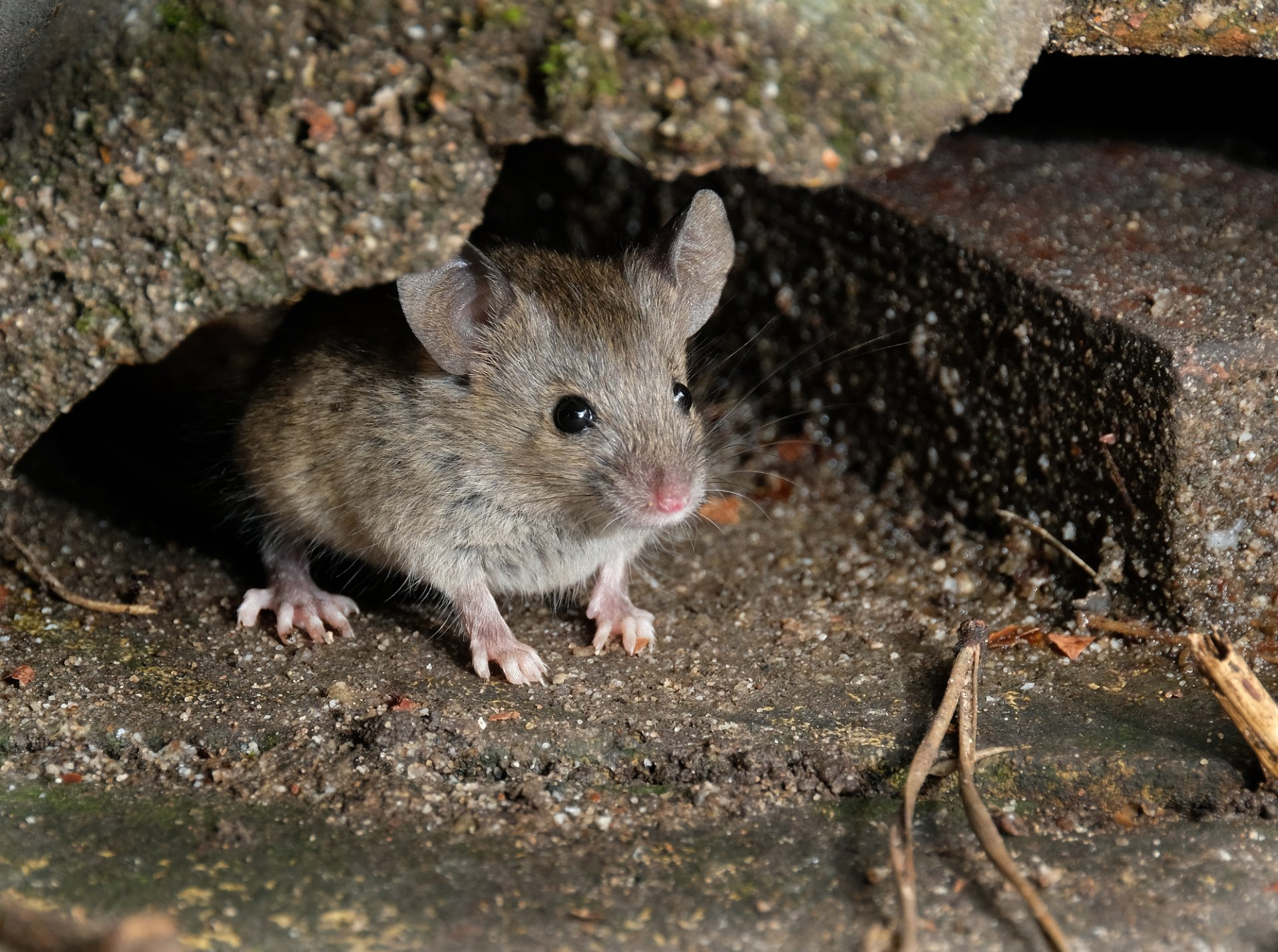 Can Mouse Droppings Make You Sick? | INSECT COP