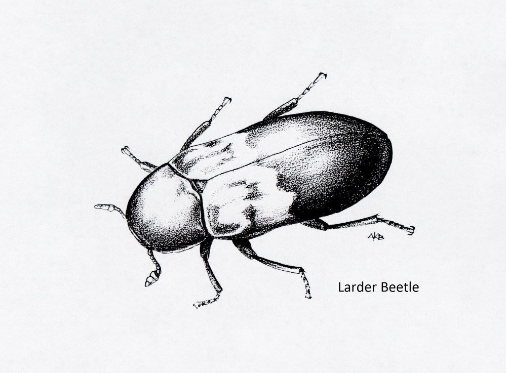 medium resolution of larder beetle dermestes lardarius