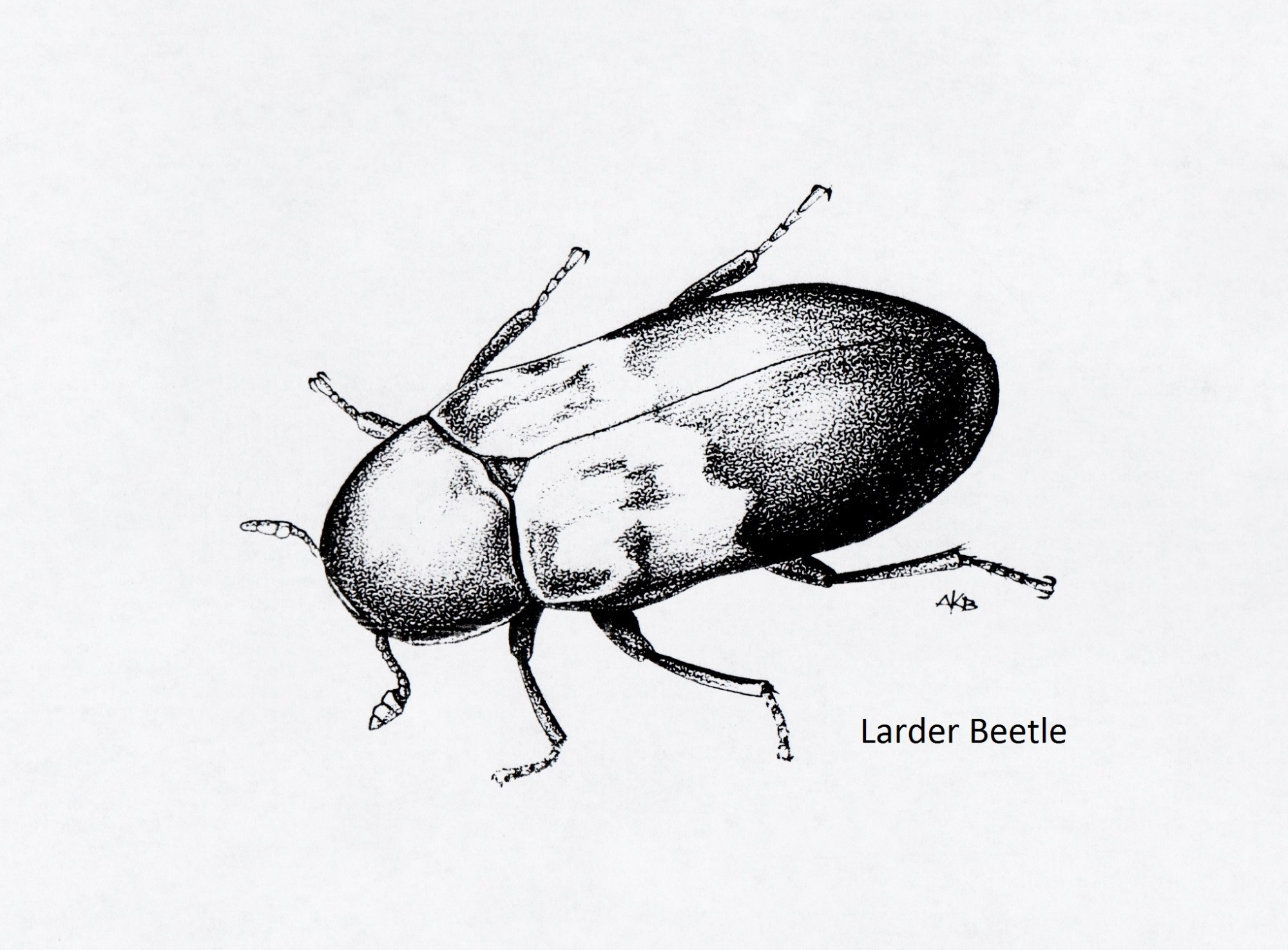hight resolution of larder beetle dermestes lardarius