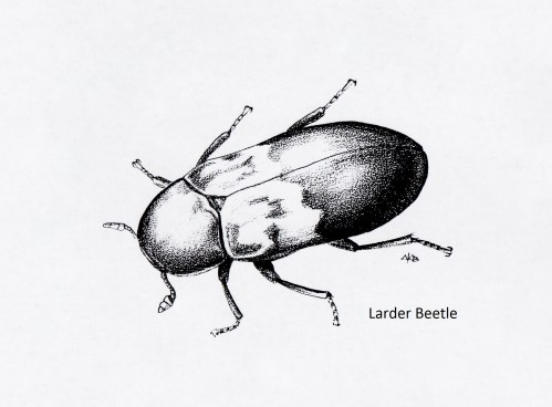 small resolution of larder beetle dermestes lardarius
